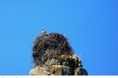 Орлан в гнезде