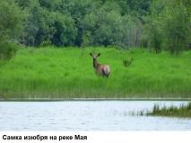 Самка Изюбря на реке Мая