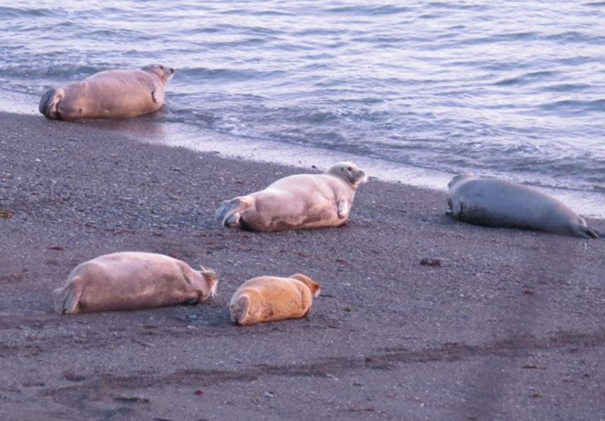 Морские зайцы-лахтаки