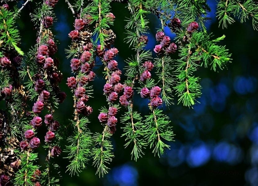 Северная лиственница-фото А.Соловьева