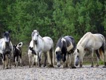 Дикие лошади-фото А.Соловьева