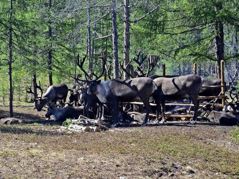 Аяно-майские северные олени