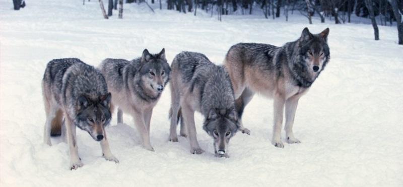 Волки уполовинили стада оленей в Хабаровском крае